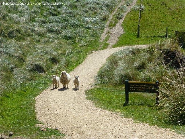 Schafe Sandflybay Otago Peninsula