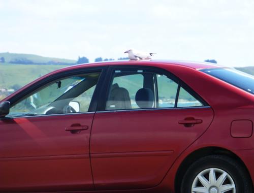 Shagpoint Möwe auf dem Auto 2