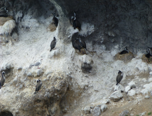Royal Albatros Center Vogelkolonie