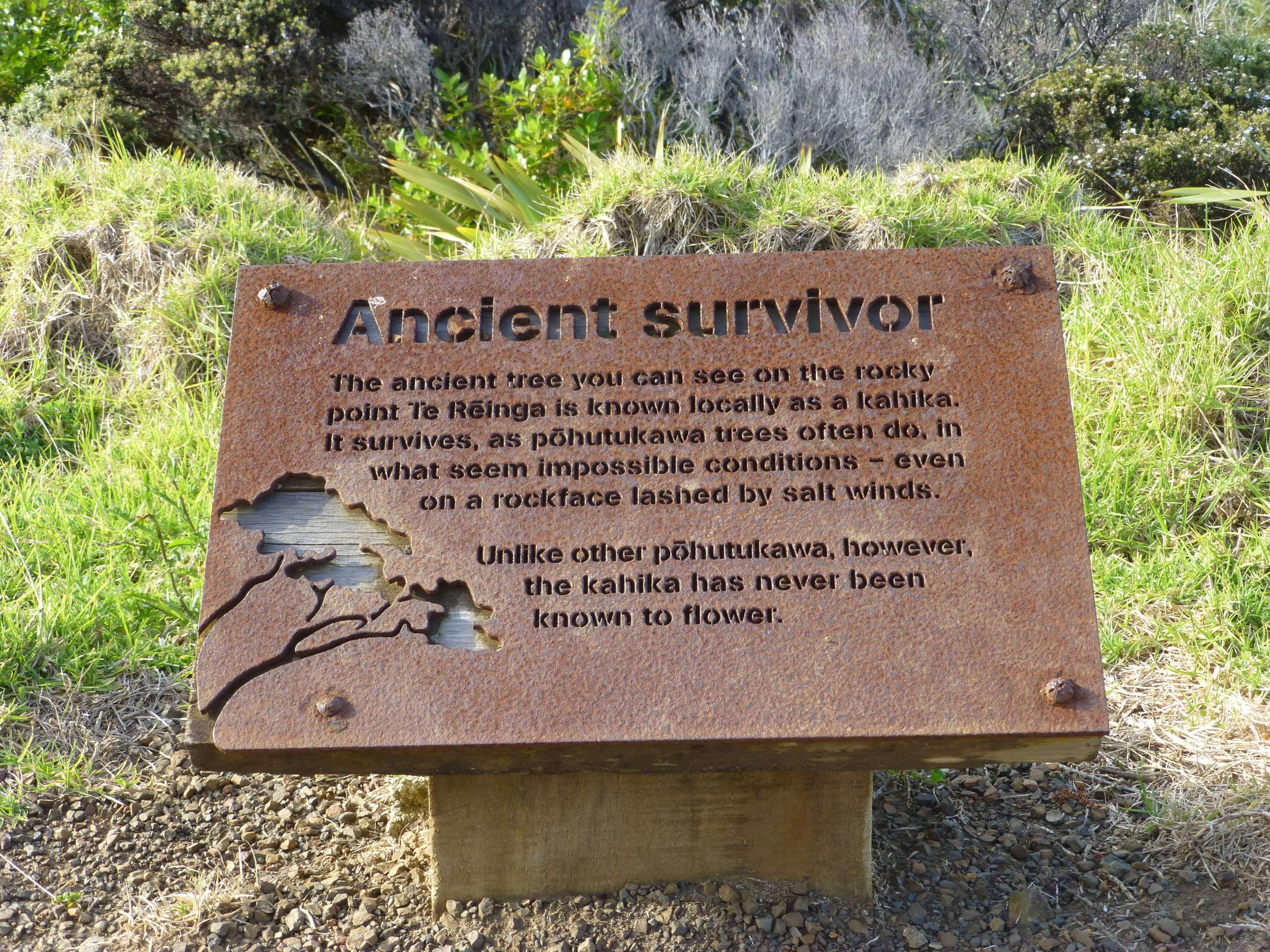 Ancient survivor, Cape Reinga 1