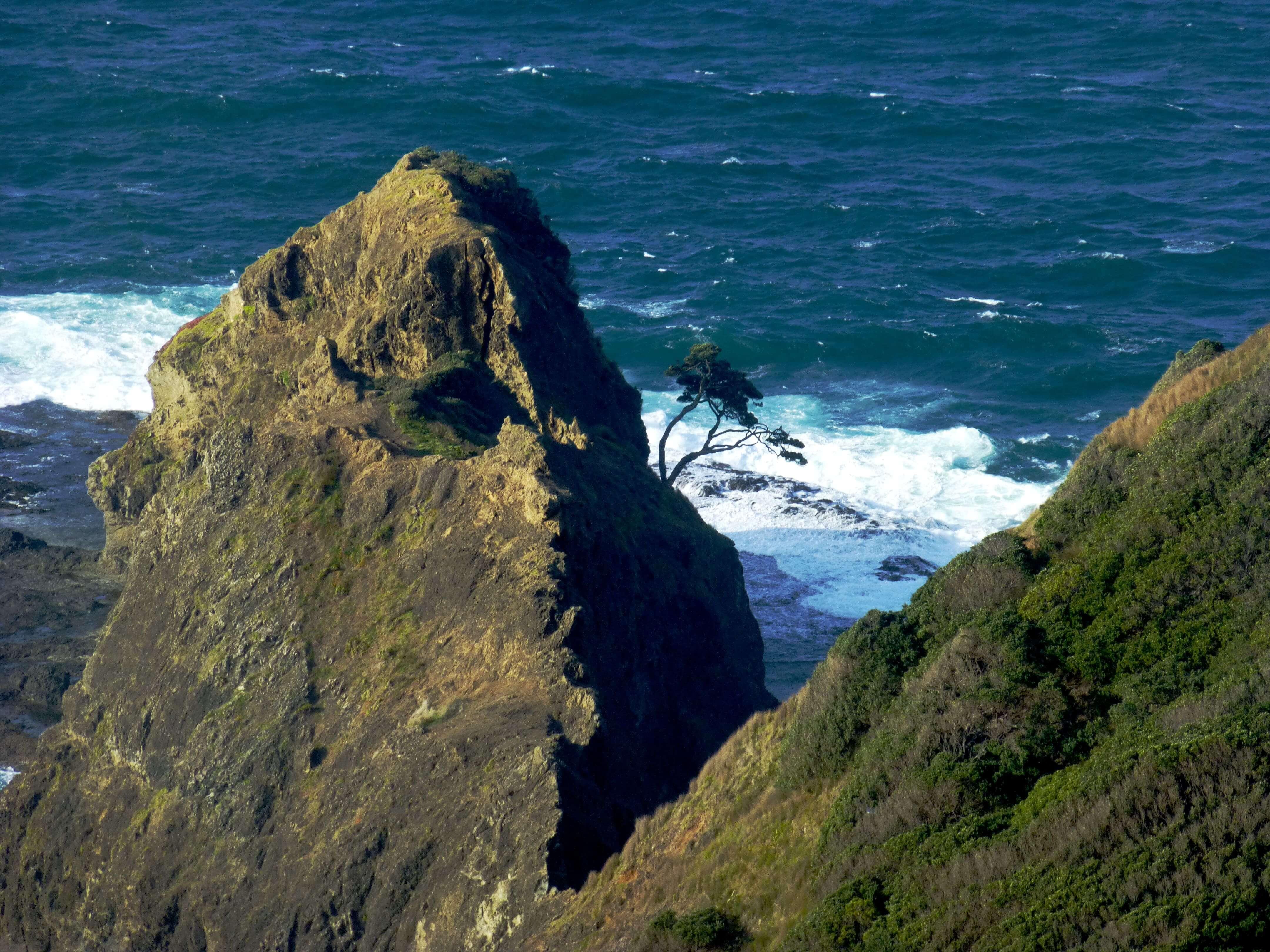 Ancient survivor, Cape Reinga 2
