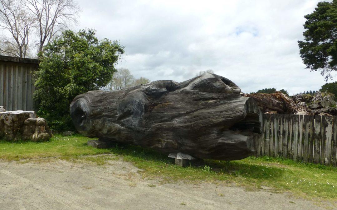 Neuseelands Kauri – Ein Naturschatz