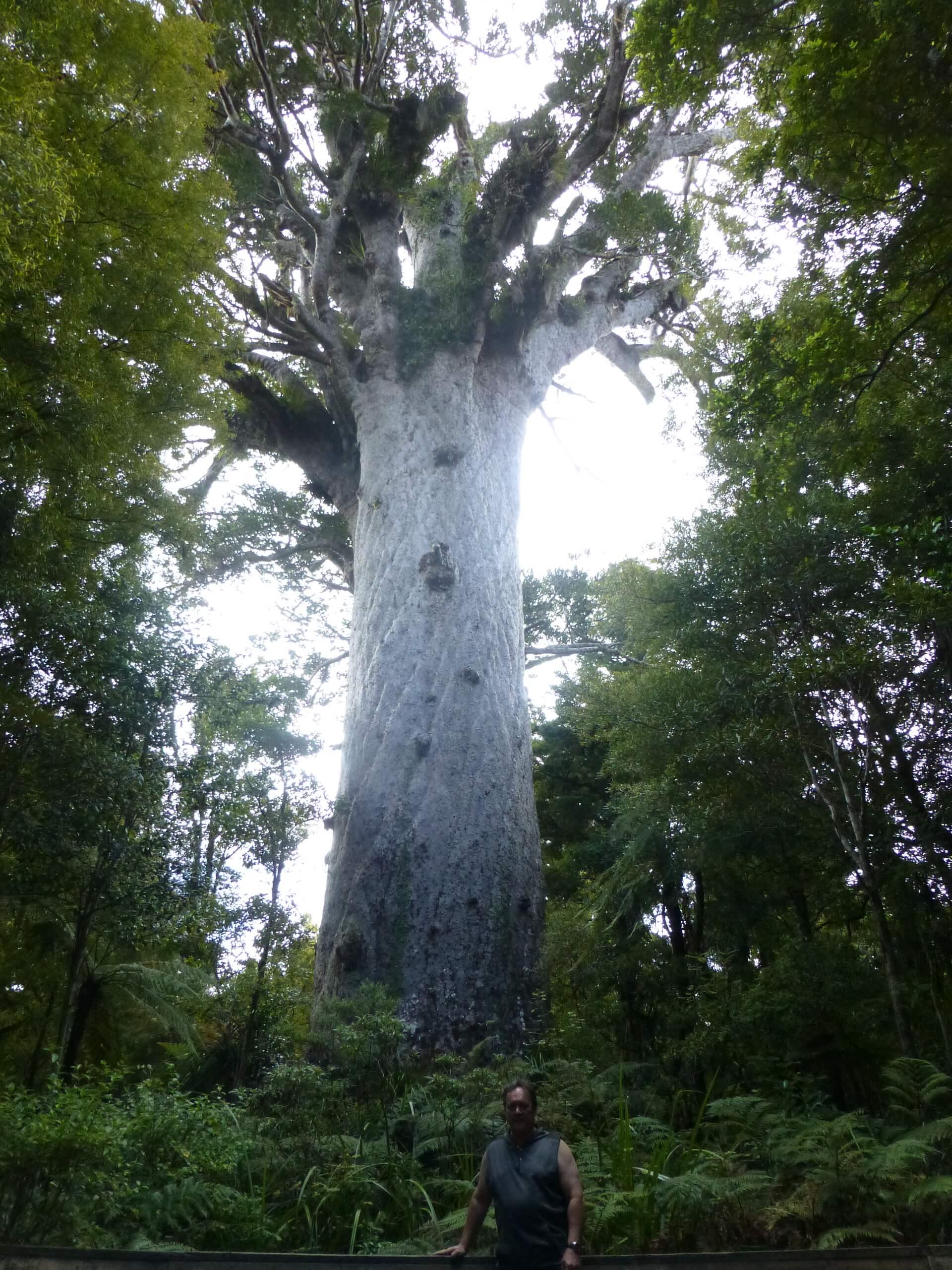 weit weg reisen, Waipoua Forest, Tane Mahuta 12