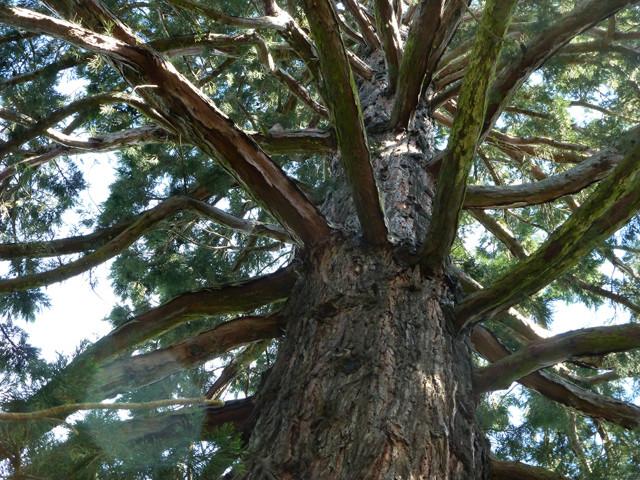 Botanischer Garten Christchurch, Baum, Zeder