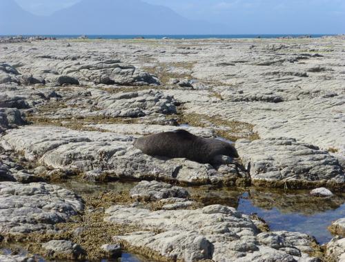 Kaikoura, Point Kean Seal-Colony 4
