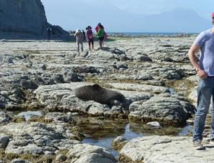 Kaikoura, Point Kean Seal-Colony 5