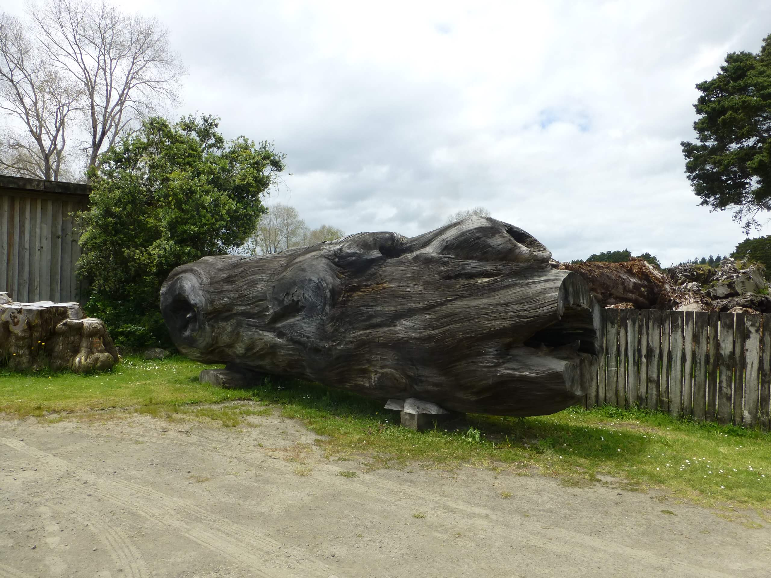 Nelson's Kaihu Kauri 1