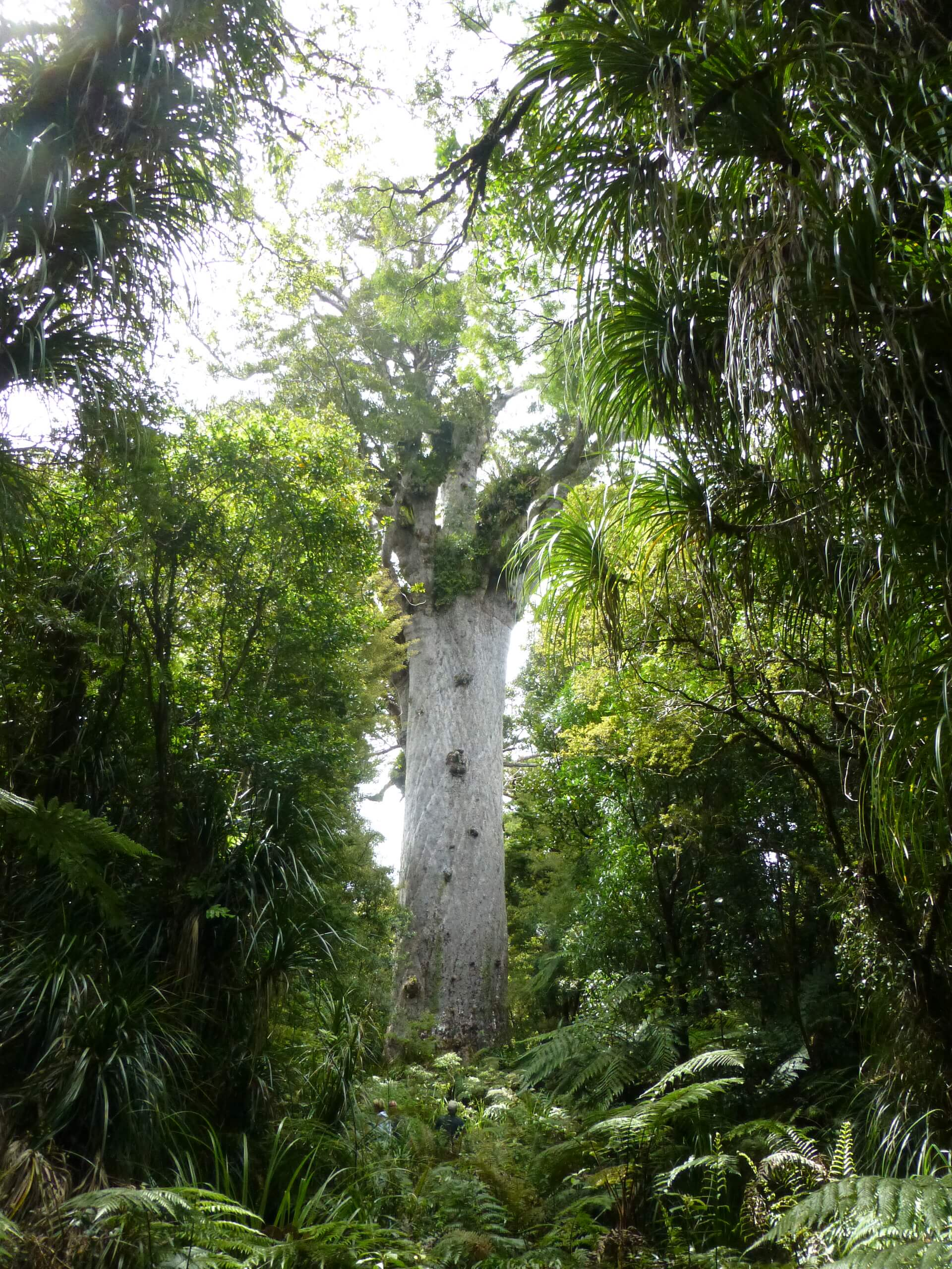 weit weg reisen, Waipoua Forest, Tane Mahuta 13