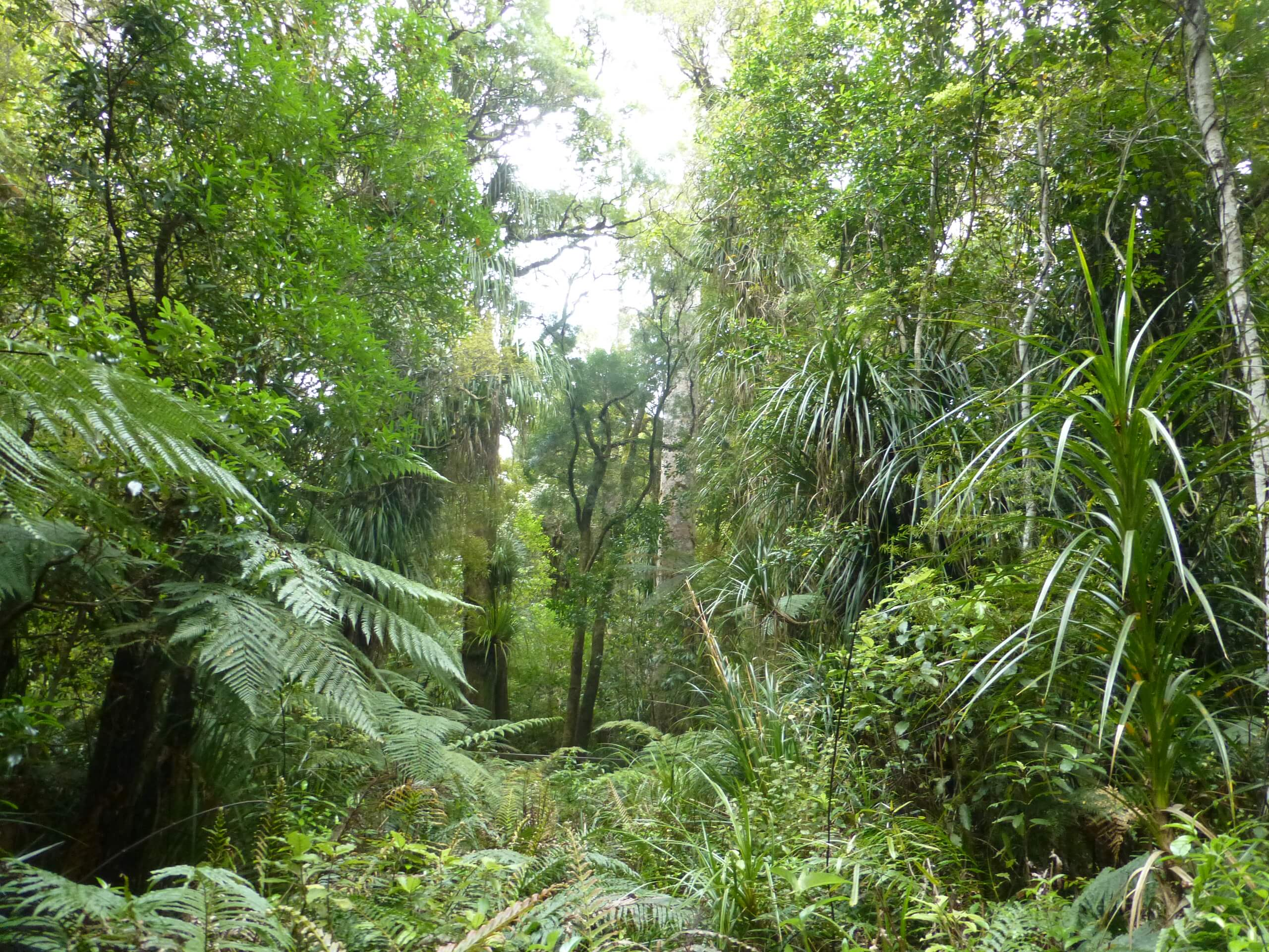 weit weg reisen, Waipoua Forest, Tane Mahuta 9