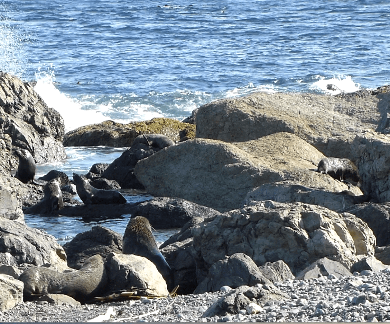 Cape Palliser,Seebärenkolonie, Weit-weg.reisen