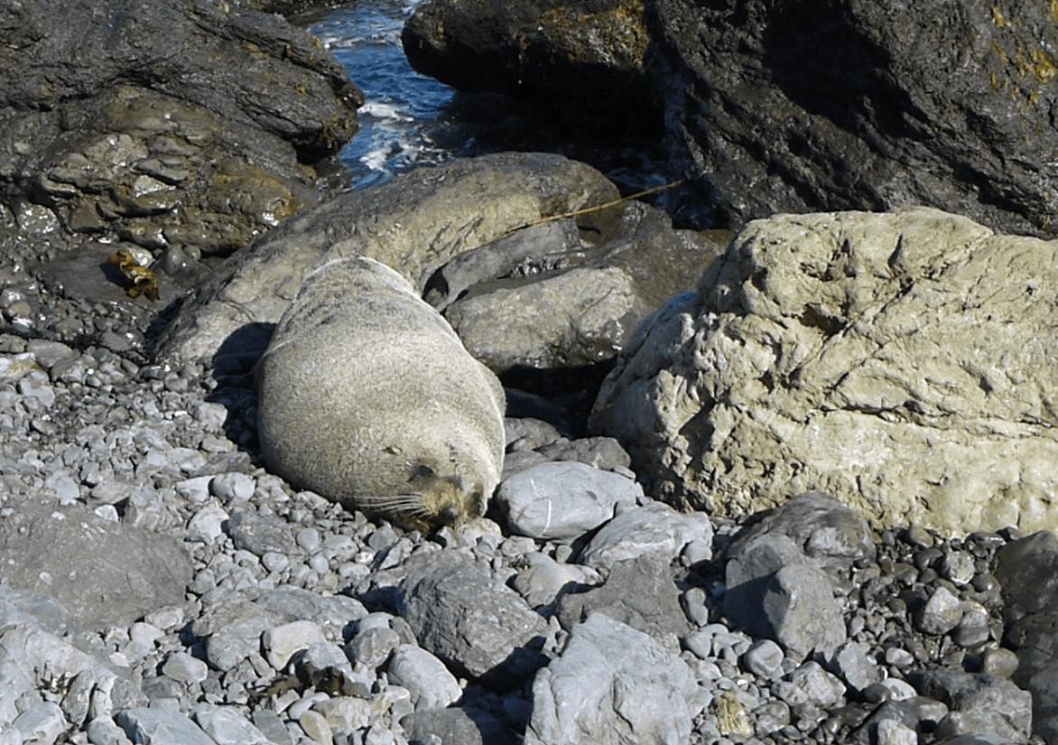 Seebären am Cape Palliser, Weit-weg.reisen