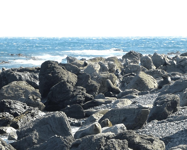 Seebärenkolonie am Cape Palliser, Weit-weg.reisen